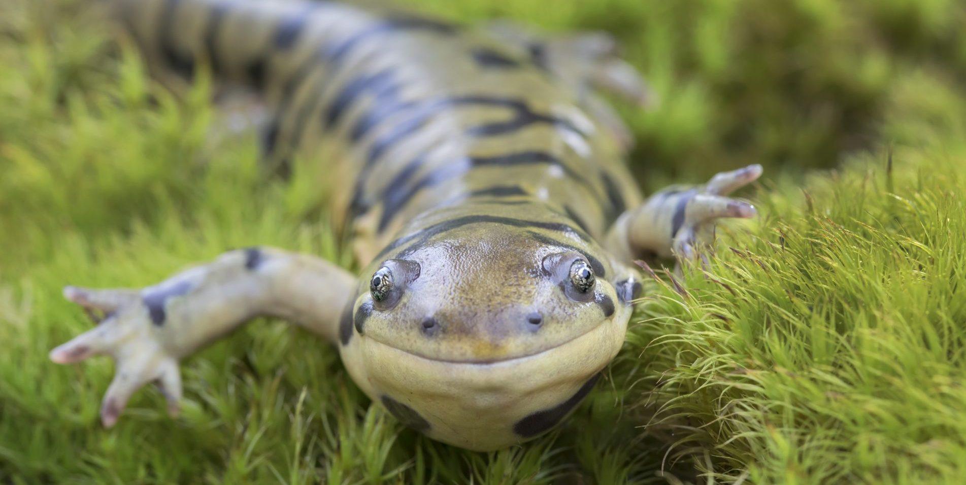 Barred Tiger Salamander (Ambystoma mavortium) smiling and crawling in moss