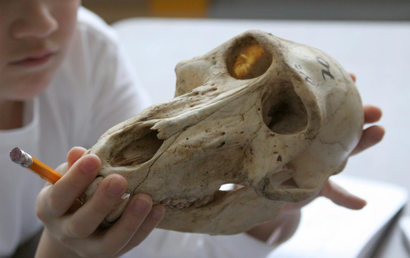 A child examines an animal skull up close.