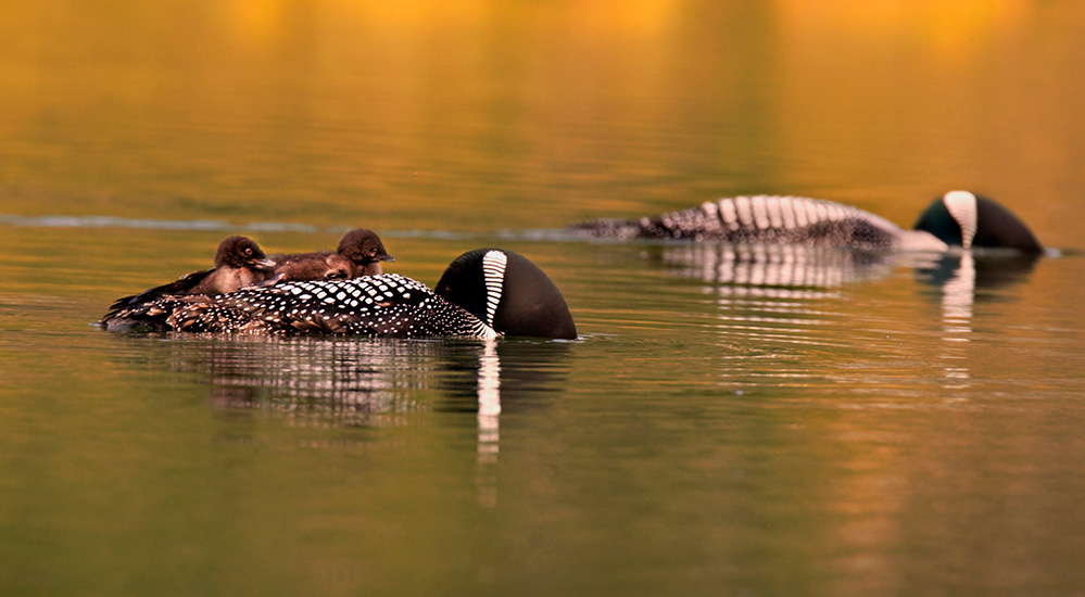 Loon chicks on the back of an adult swimming