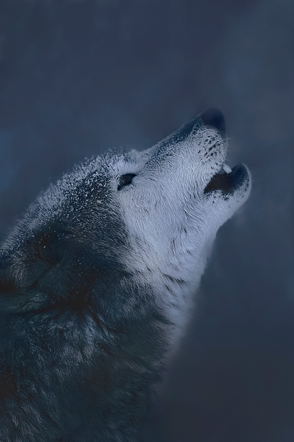 Adult wolf howling