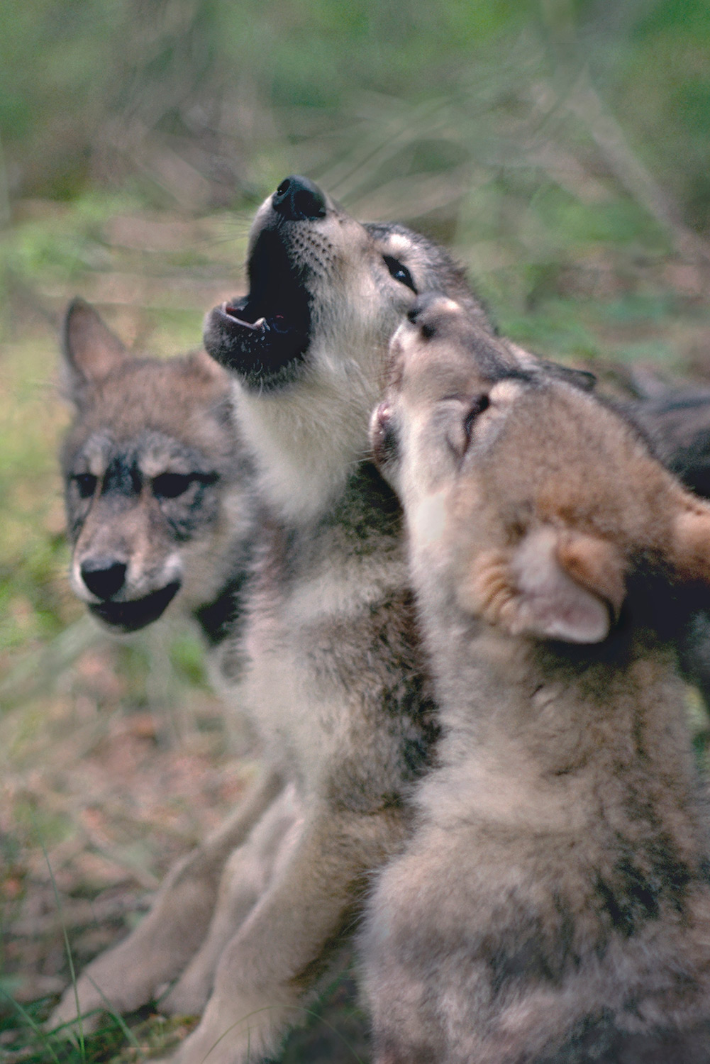Wolf Pups Howling