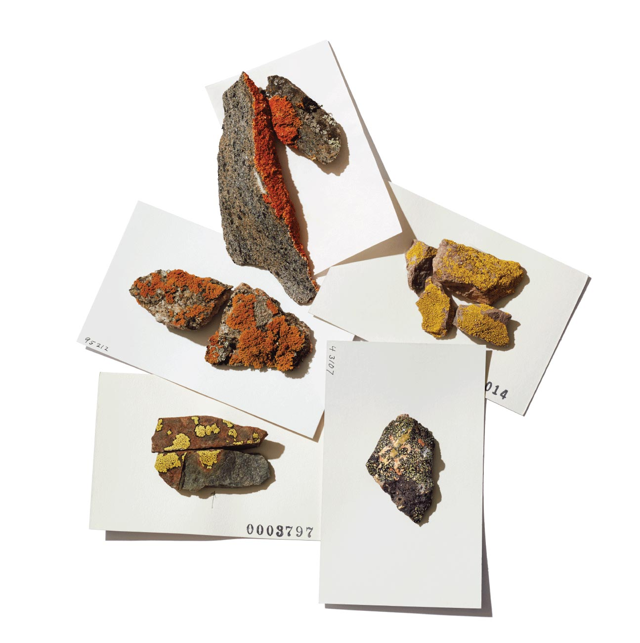 Five different lichen specimens from the Bell collection