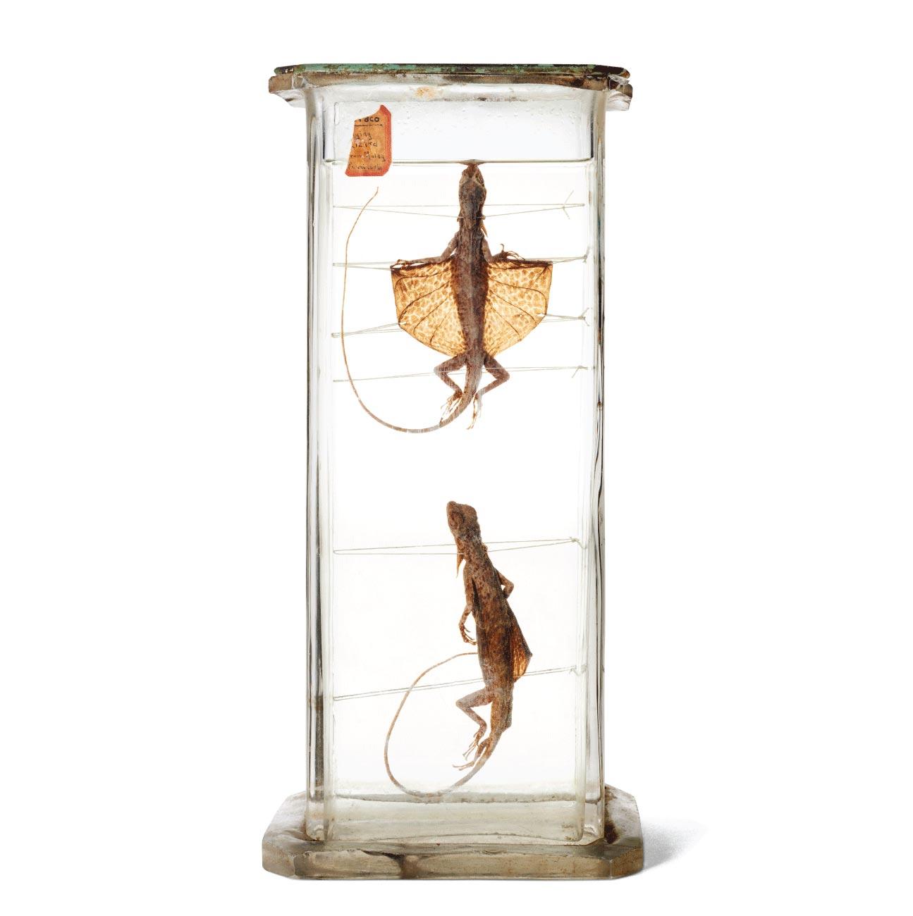 Flying lizard specimen in antique glass jar