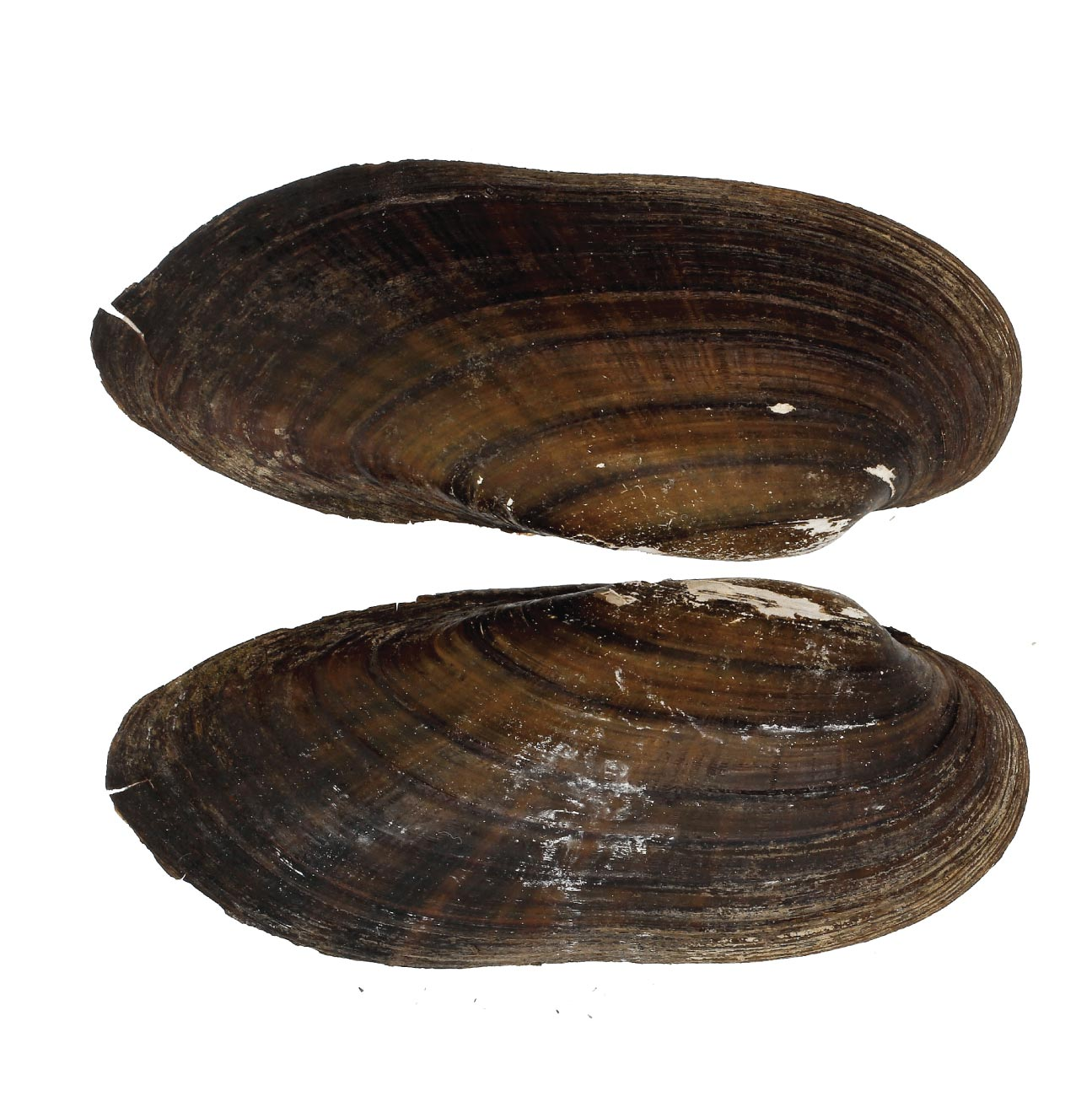 Large mussel shell specimen