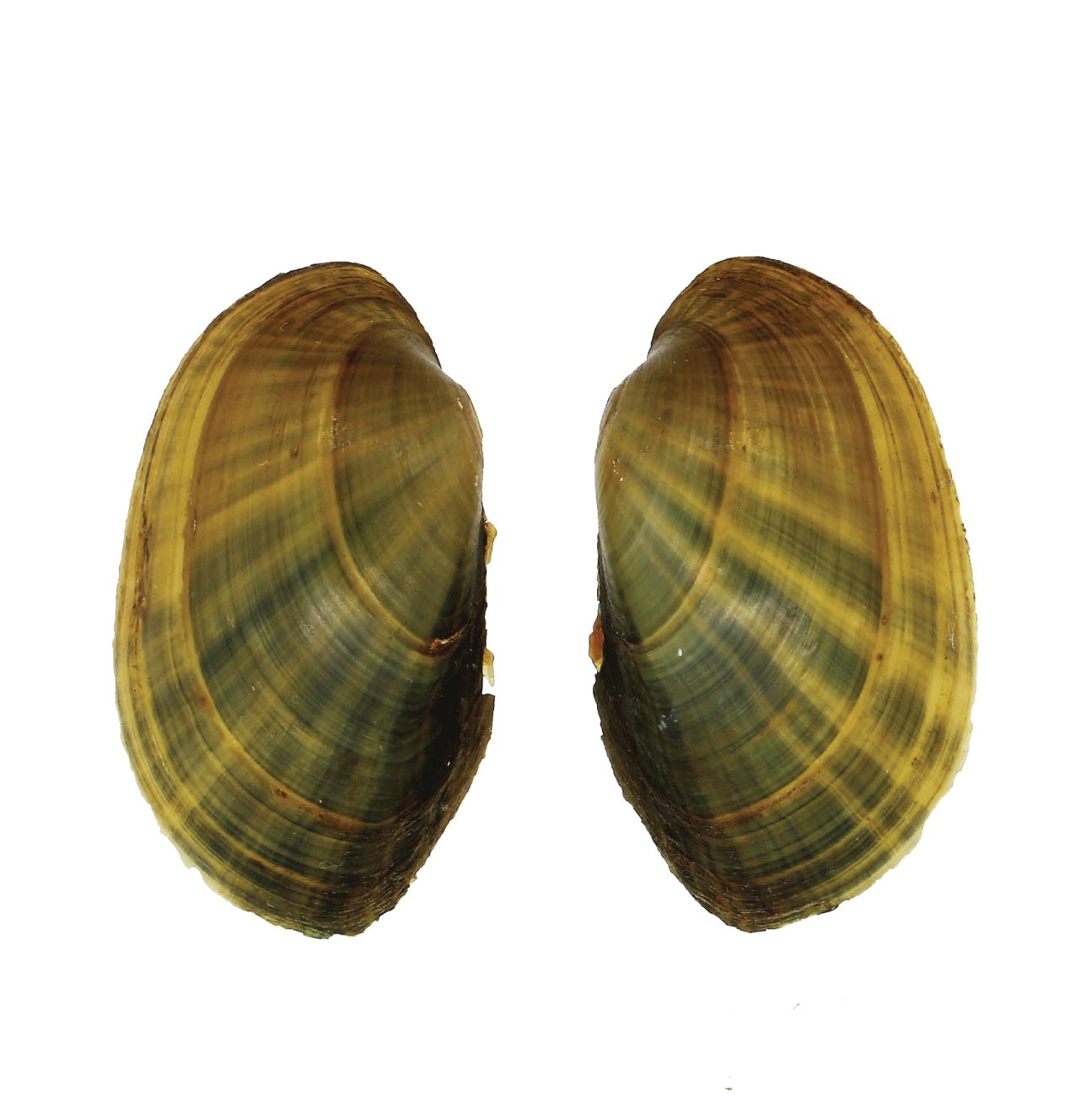 Small mussel specimen from Lake Pepin