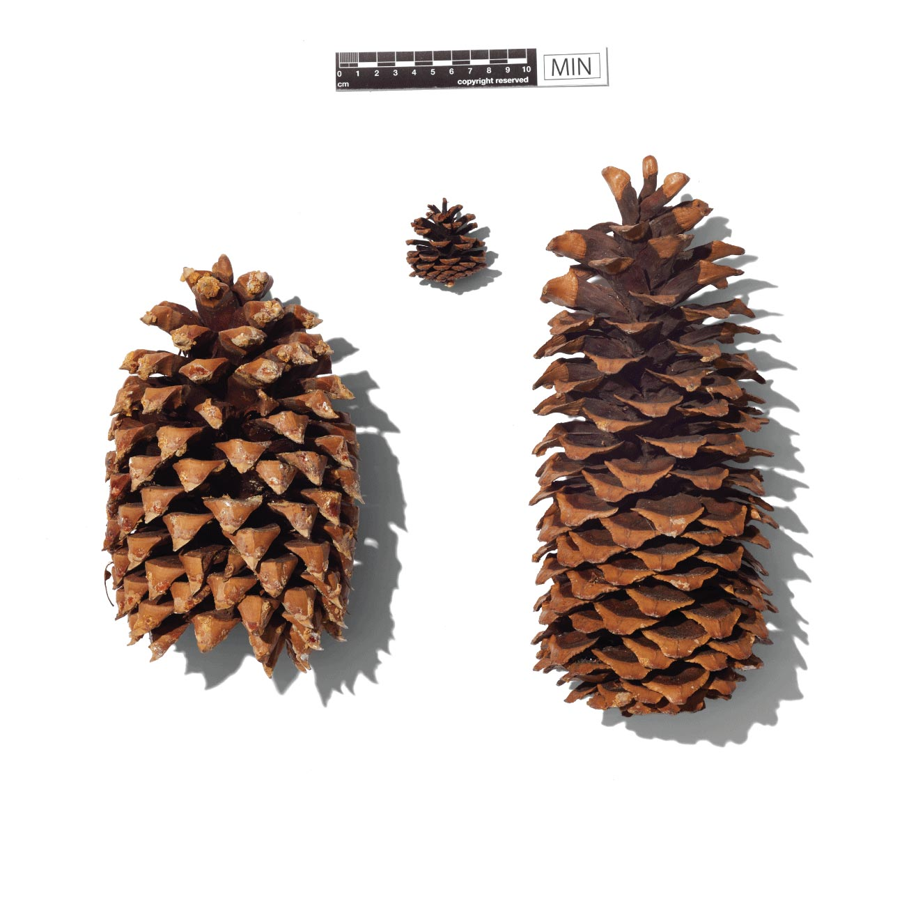 Pinecone specimens