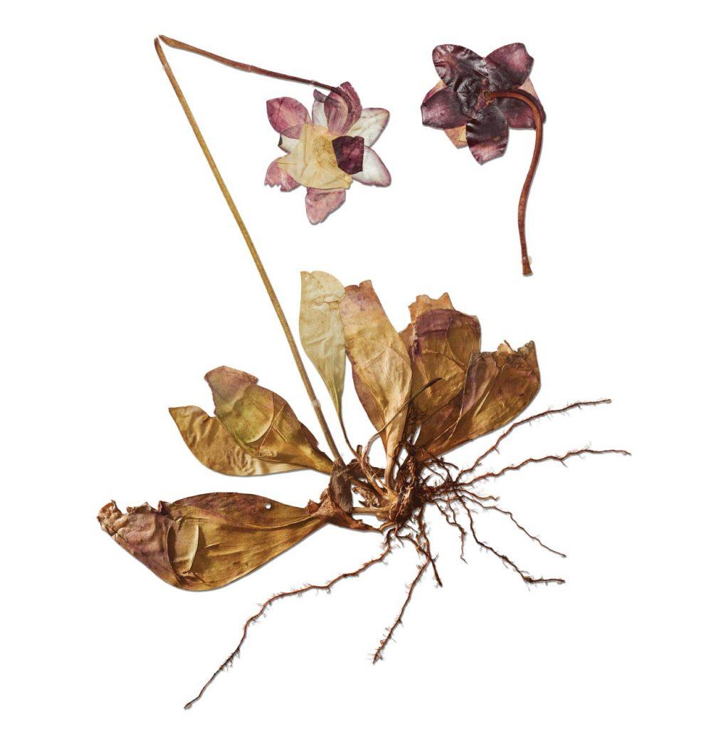 Pitcher plant specimen