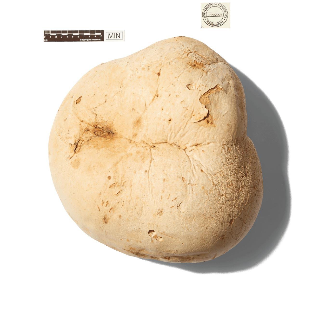 Giant puffball mushroom specimen
