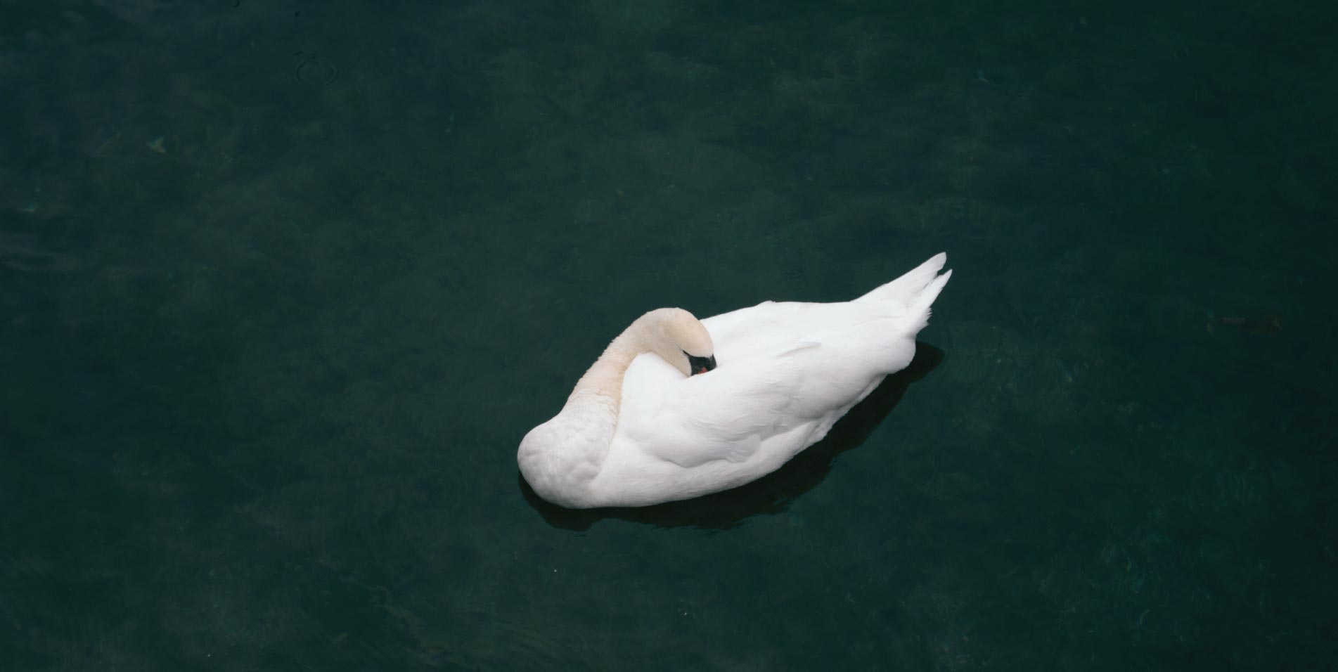 Swan swimming on a lake