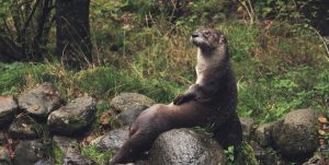 River otter lounging on rocks