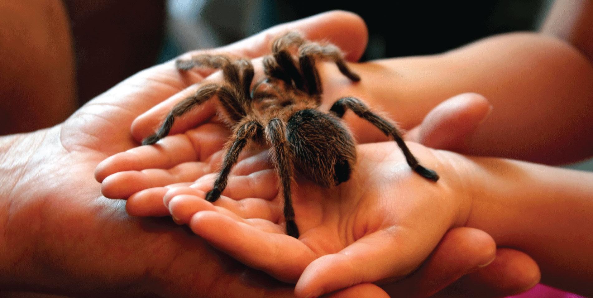 Hands holding a tarantula spider.