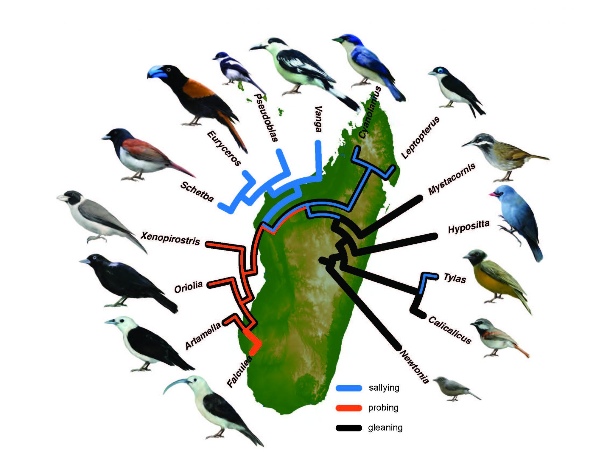 An infographic of bird species in Madagascar