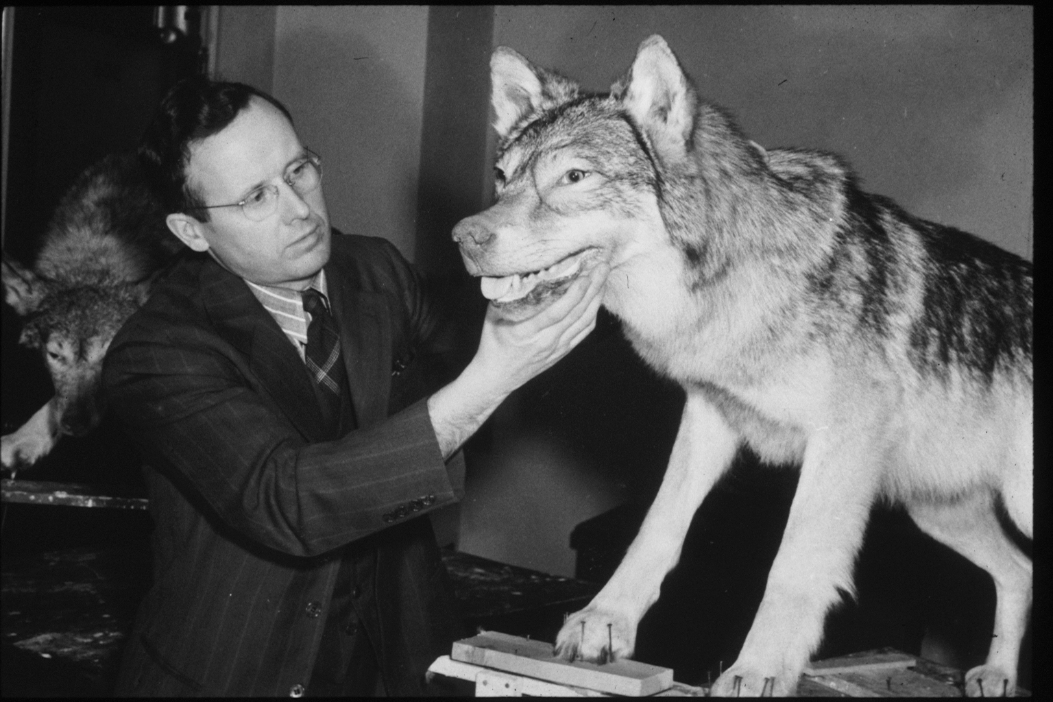 Black and white photo of Dr. Breckenridge preparing the wolf specimens for the Shovel Point diorama.