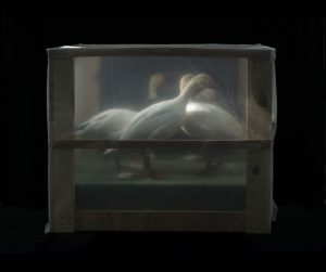 Jeff Millikan photograph of swan specimens wrapped in plastic during restoration
