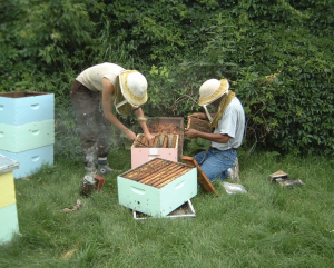 a photo of two bee researchers tending to a study hive, pulling out a drawer of bees, wearing protective gear