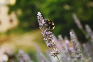 closeup image of a bumblebee pollinating a lavender plant