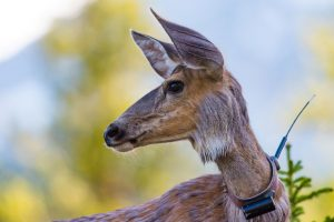 Deer wearing a radio collar for scientific research