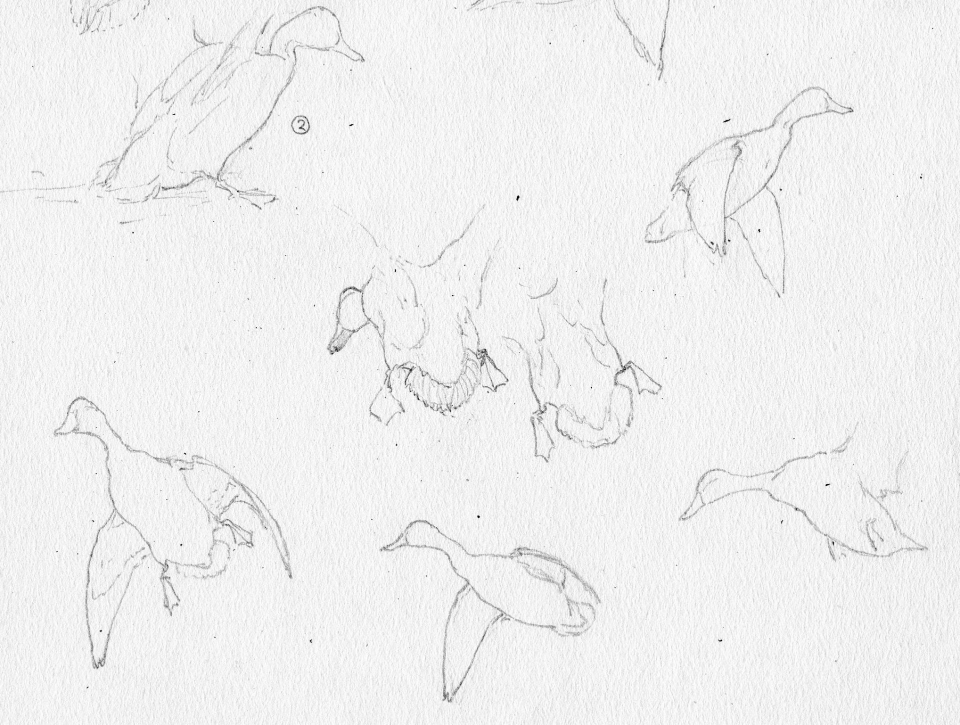Jaques field notes sketches of black ducks in multiple positions of flight and rest