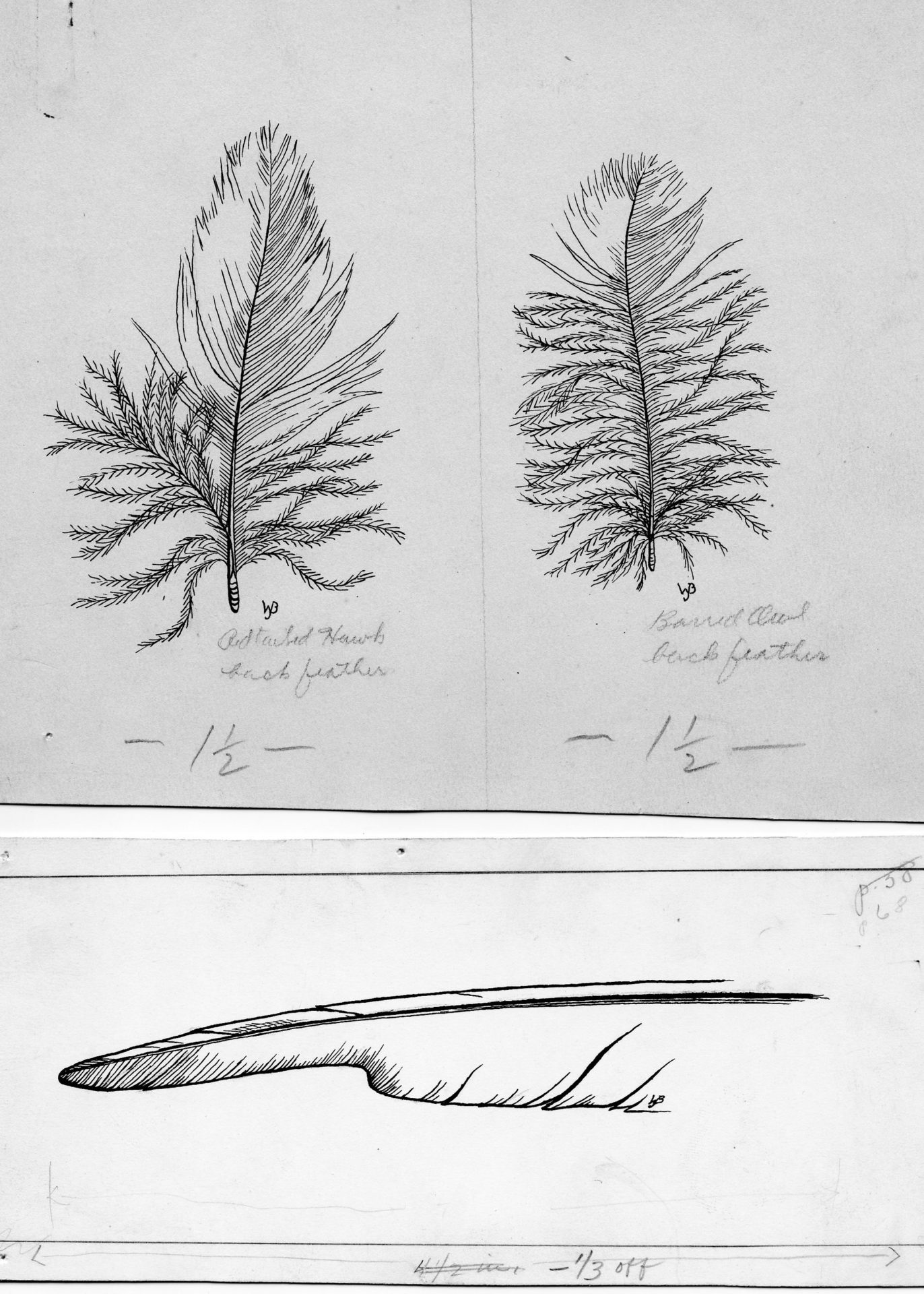 sketch of 3 feathers in black and white and with meticulous detail
