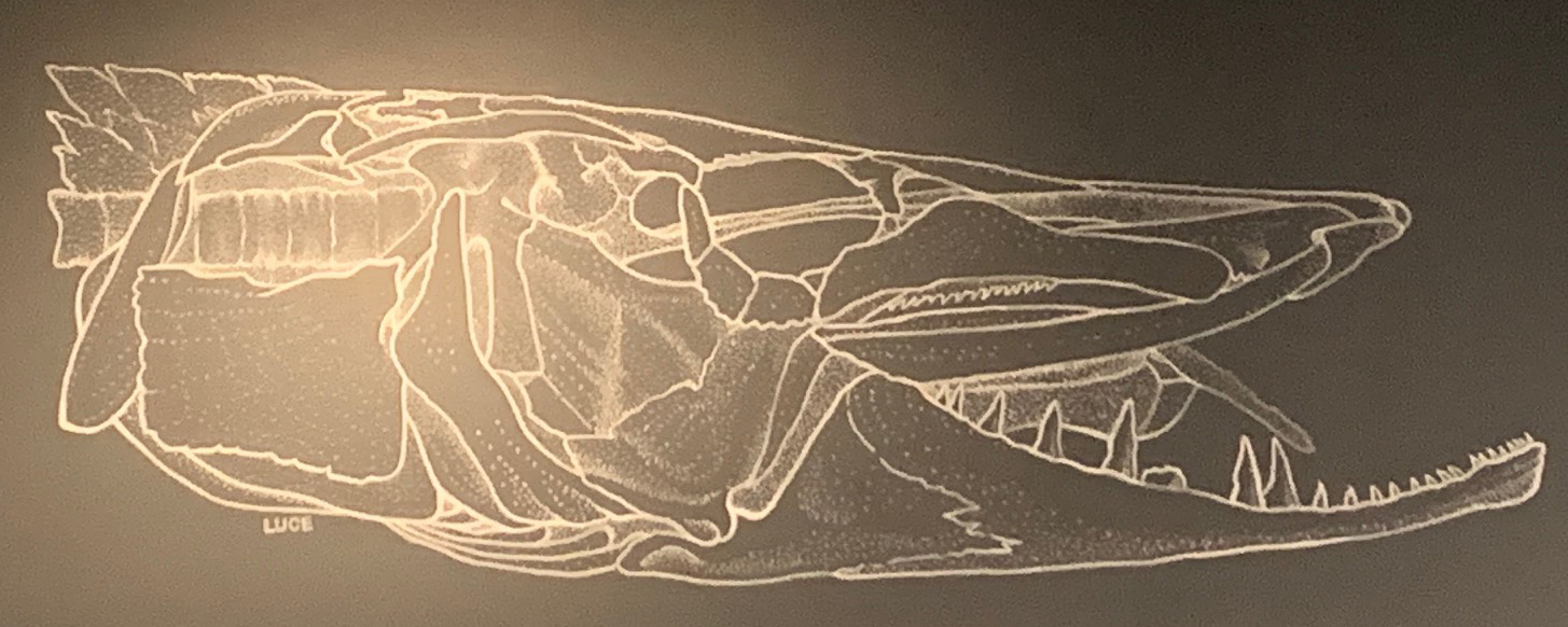 pike skull drawing in grey on the wall at the Bell Museum