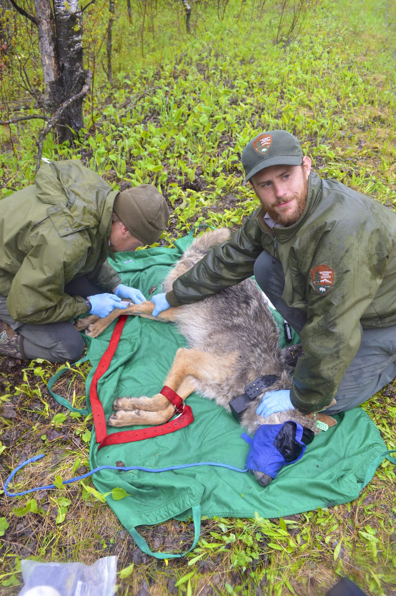 Tom Gable and Austin Homke check in on a GPS collared, sedated wolf.