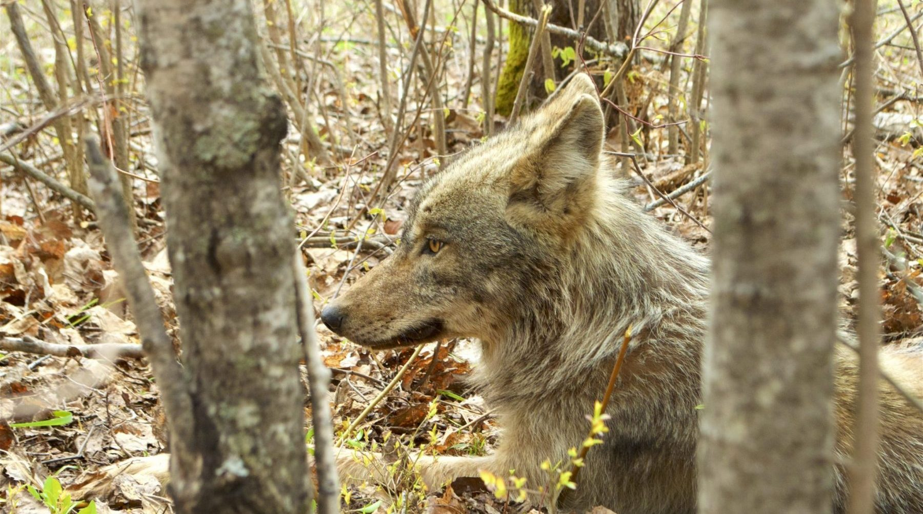 Wolf in Voyageurs National Park