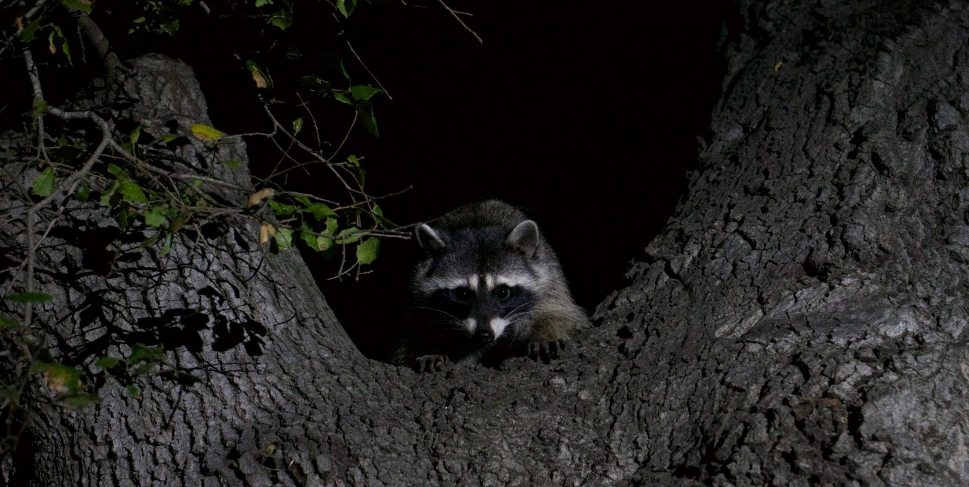 Nocturnal raccoon climbing a tree at night