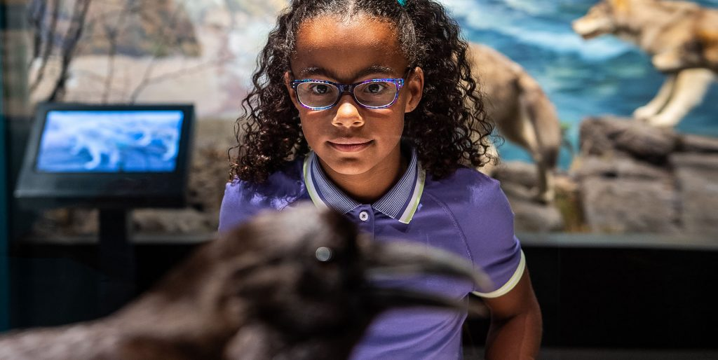 A girl looks intently at a taxidermied raven in a museum display