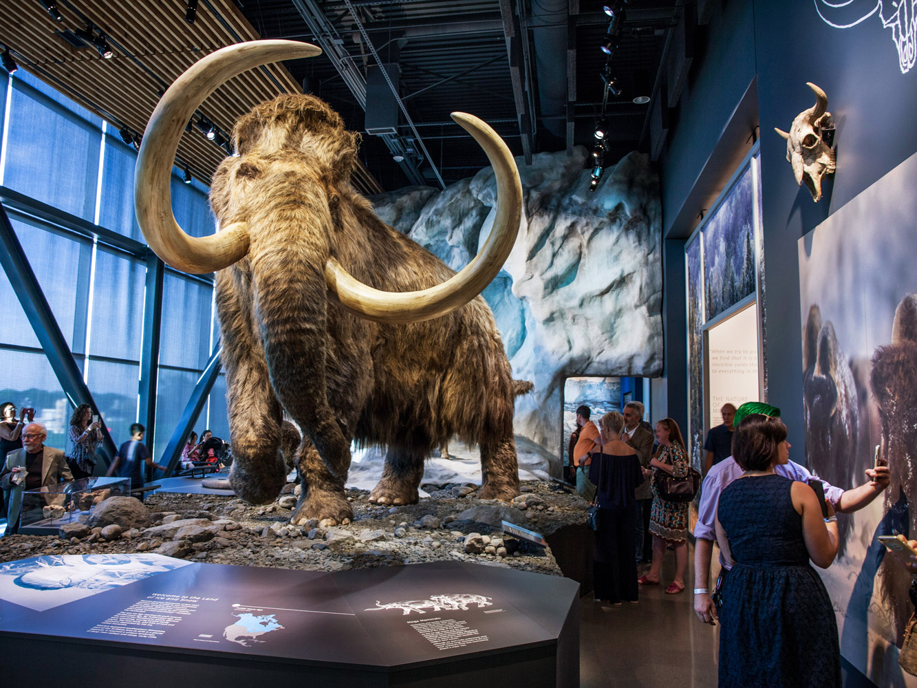 An artist's rendering of a full-size woolly mammoth in the Bell Museum's gallery