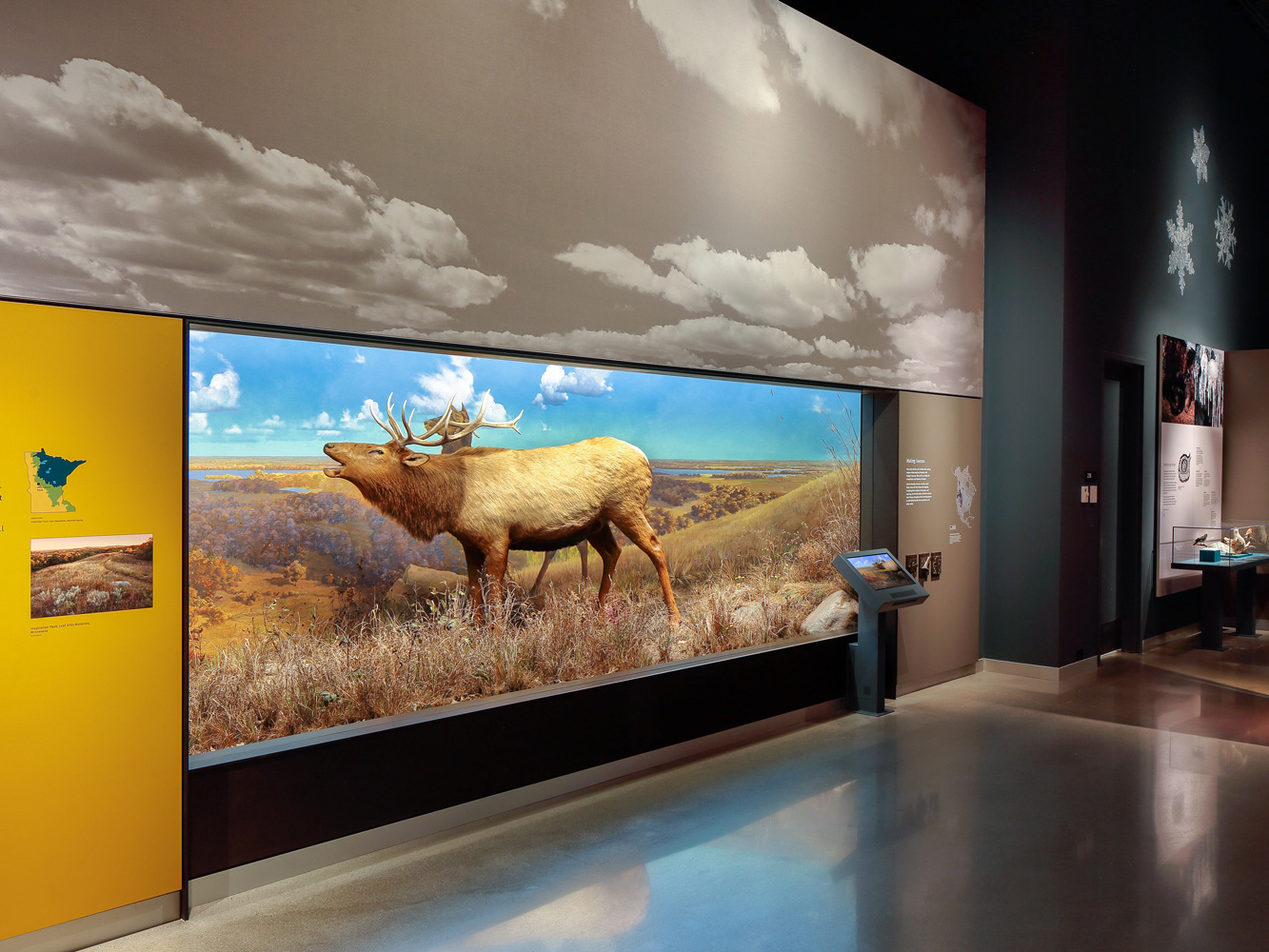 The bell Museum's moose diorama