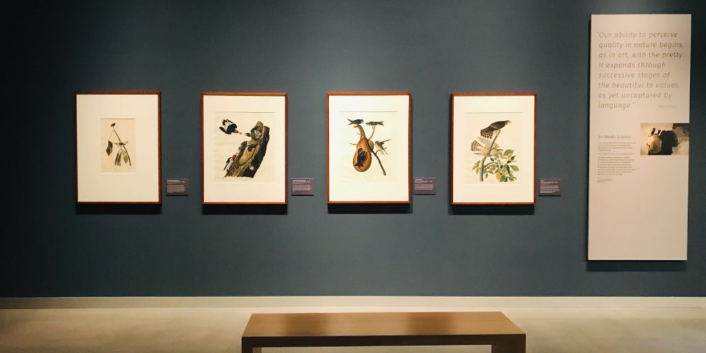 Audubon prints in the Minnesota Journey exhibit