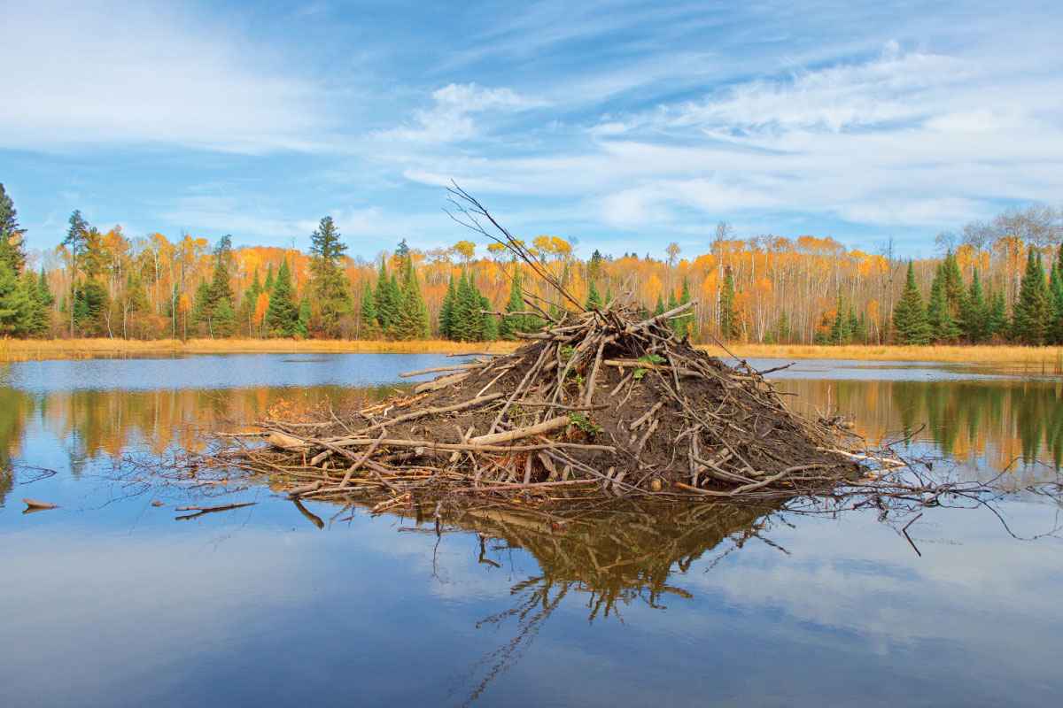 A beaver lodge on a warm sunny fall day.
