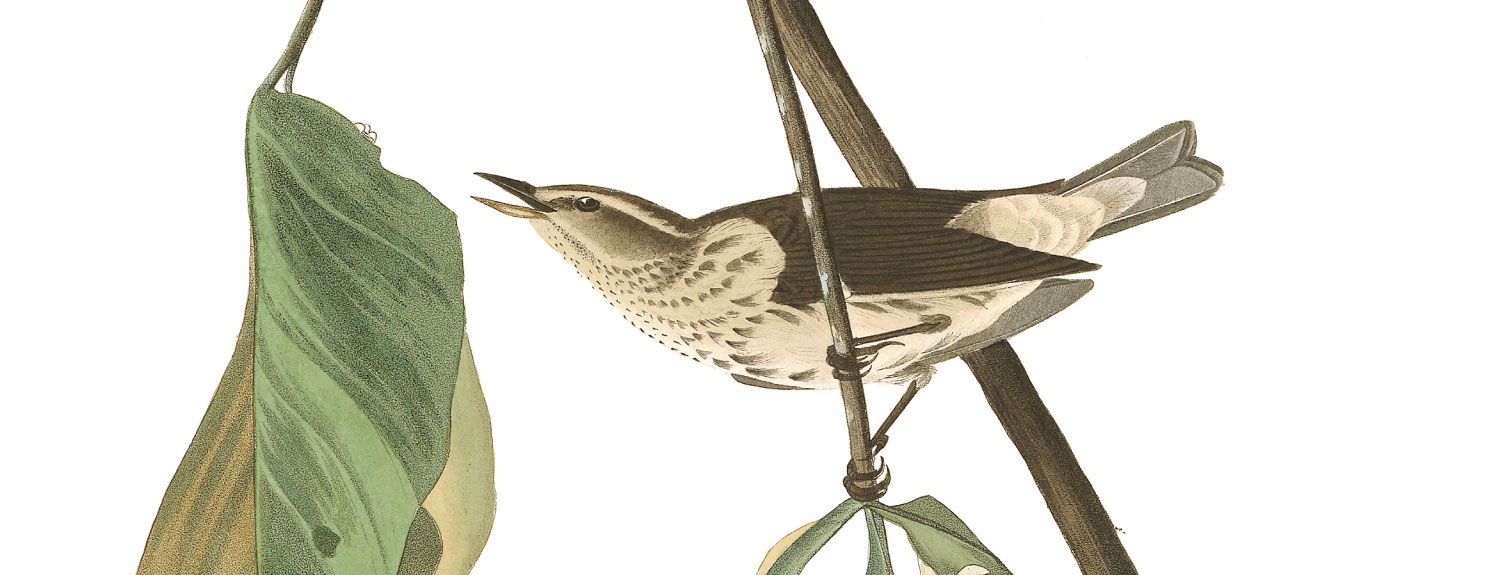 Audubon illustration of Louisiana Water Thrush