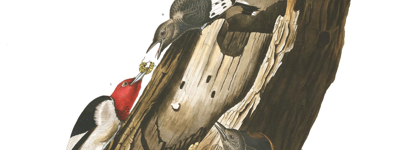Audubon illustration of Red-headed Woodpecker