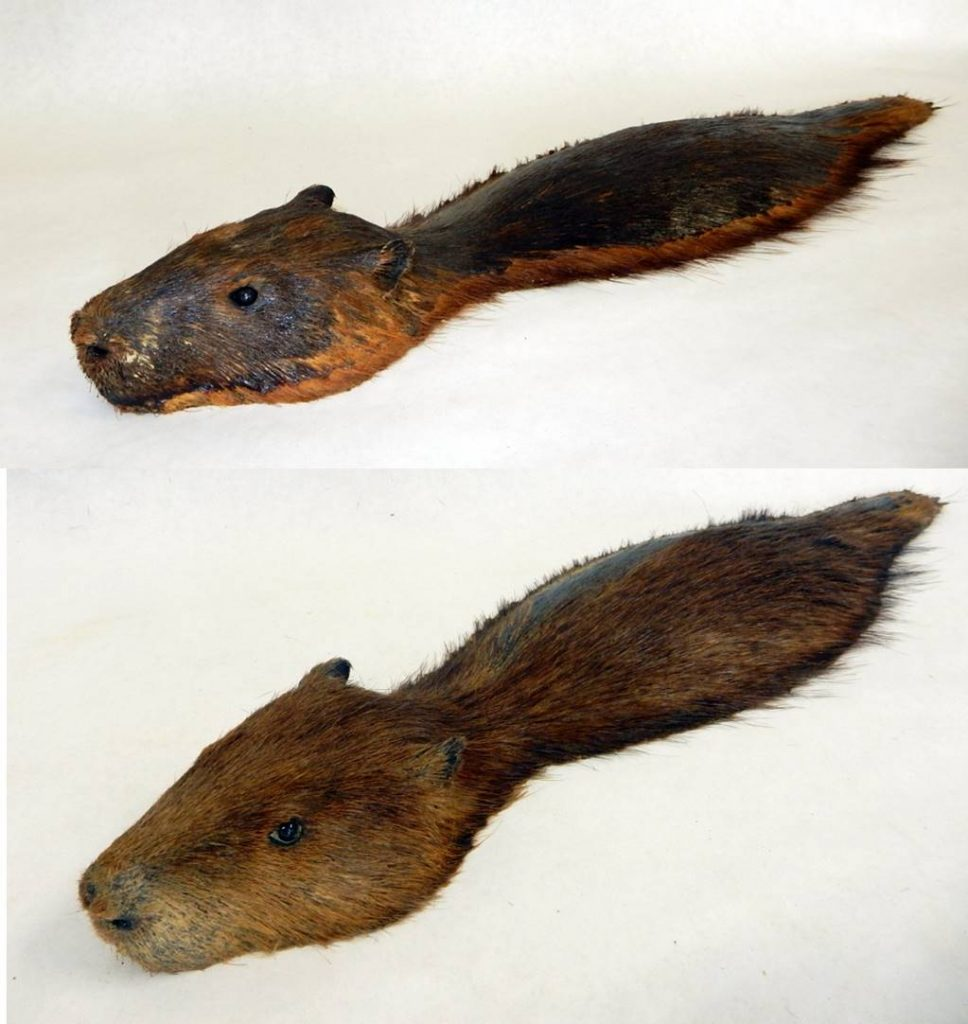 Stacked before/after images showing taxidermy restoration results on one of the beavers.