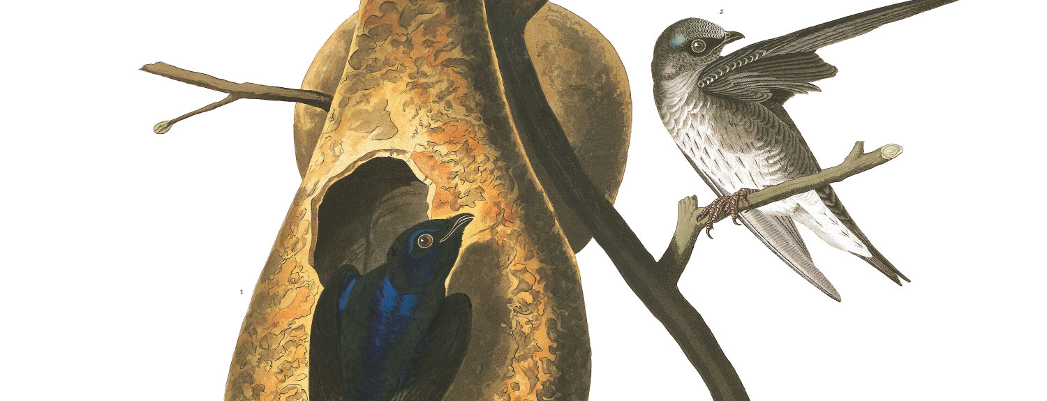 Audubon illustration of Purple Martin