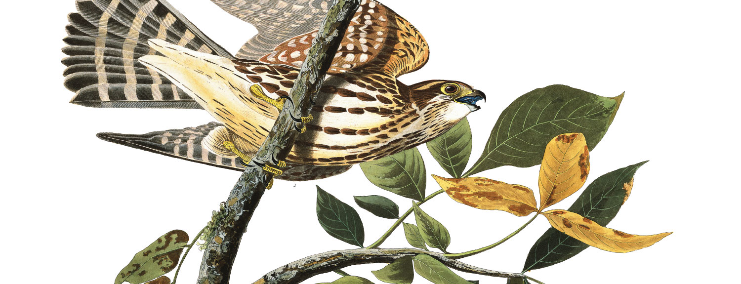 Audubon illustration of Merlin (aka Pigeon Hawk)