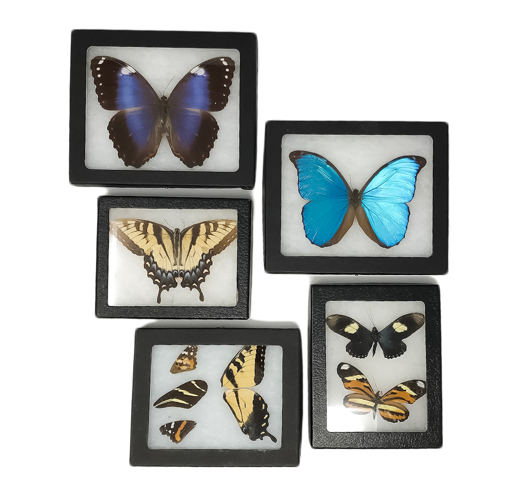 A collection of mounted, framed butterflies