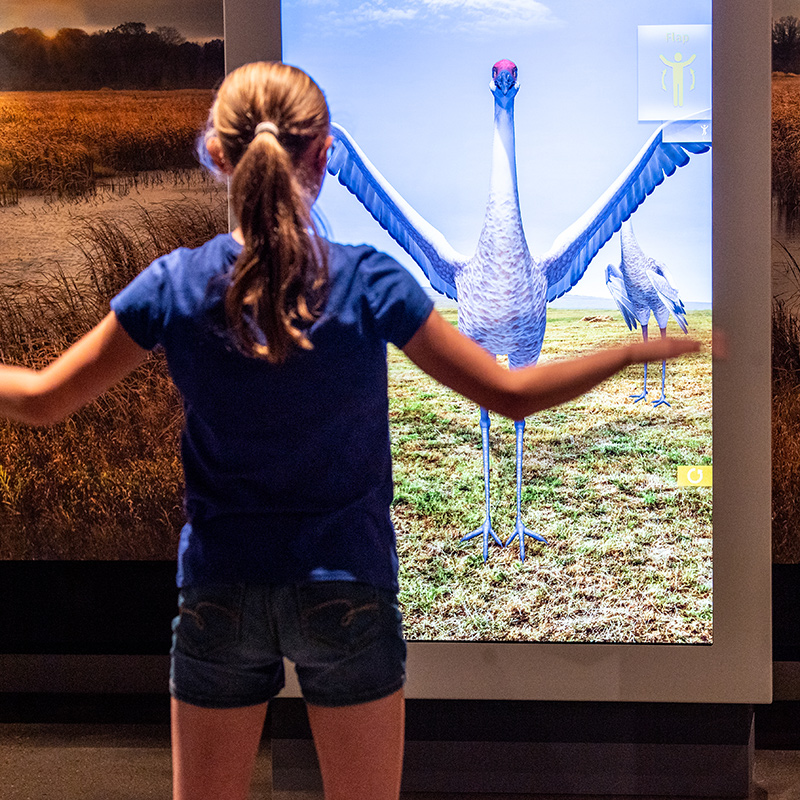 A girl tries out an interactive crane dance at the Bell Museum