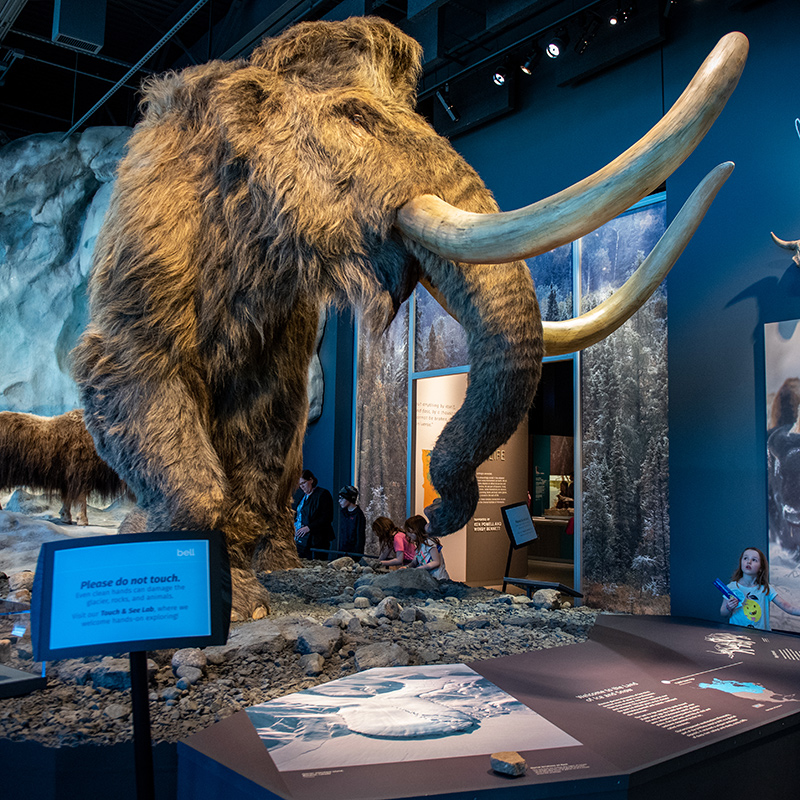 The Bell Museum's woolly mammoth