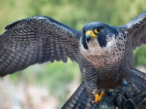 A peregrine falcon with its wings spread