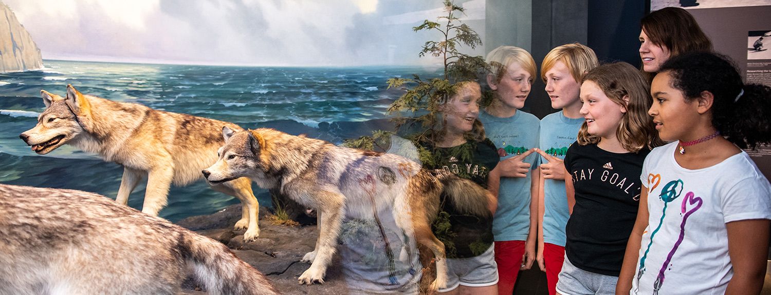 A group of kids looks at wolves inside a diorama at the Bell Museum