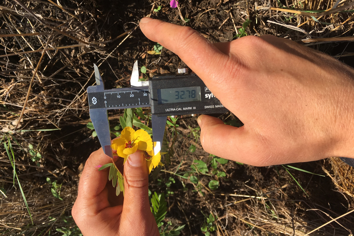 A researcher uses a digital caliper in the field to measure a partridge pea's flower length