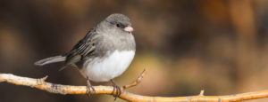 A dark eyed junco sitting on a branch