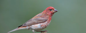A house finch sitting on a branch