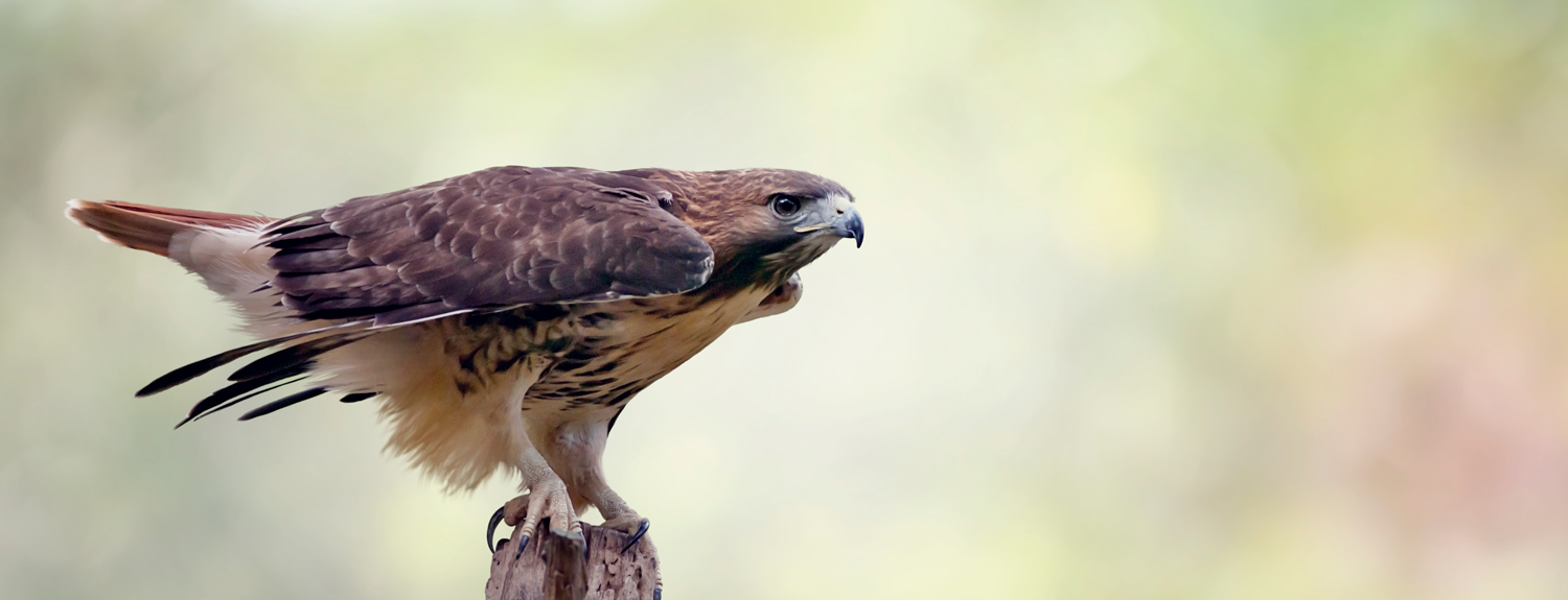 A red-tailed hawk sitting on a branch