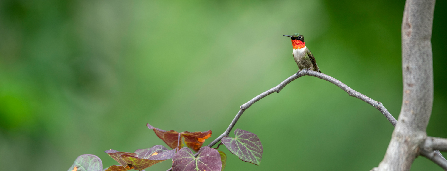 A ruby throated hummingbird sitting on a branch