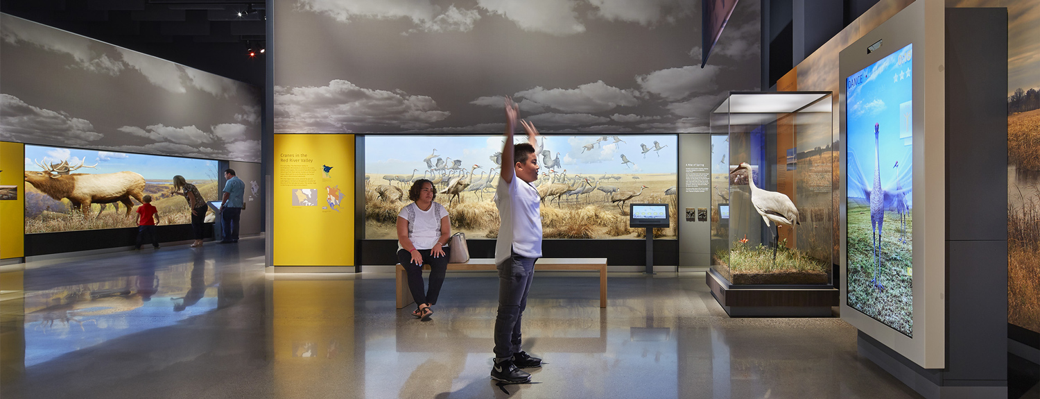 A visitor to the Bell Museum tries out an interactive exhibit about the crane's mating dance
