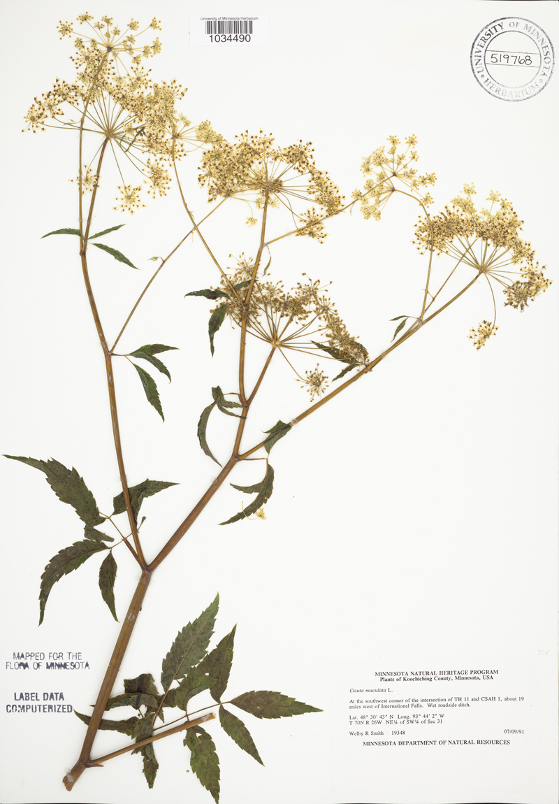 An image of water Hemlock from the Biodiversity Atlas