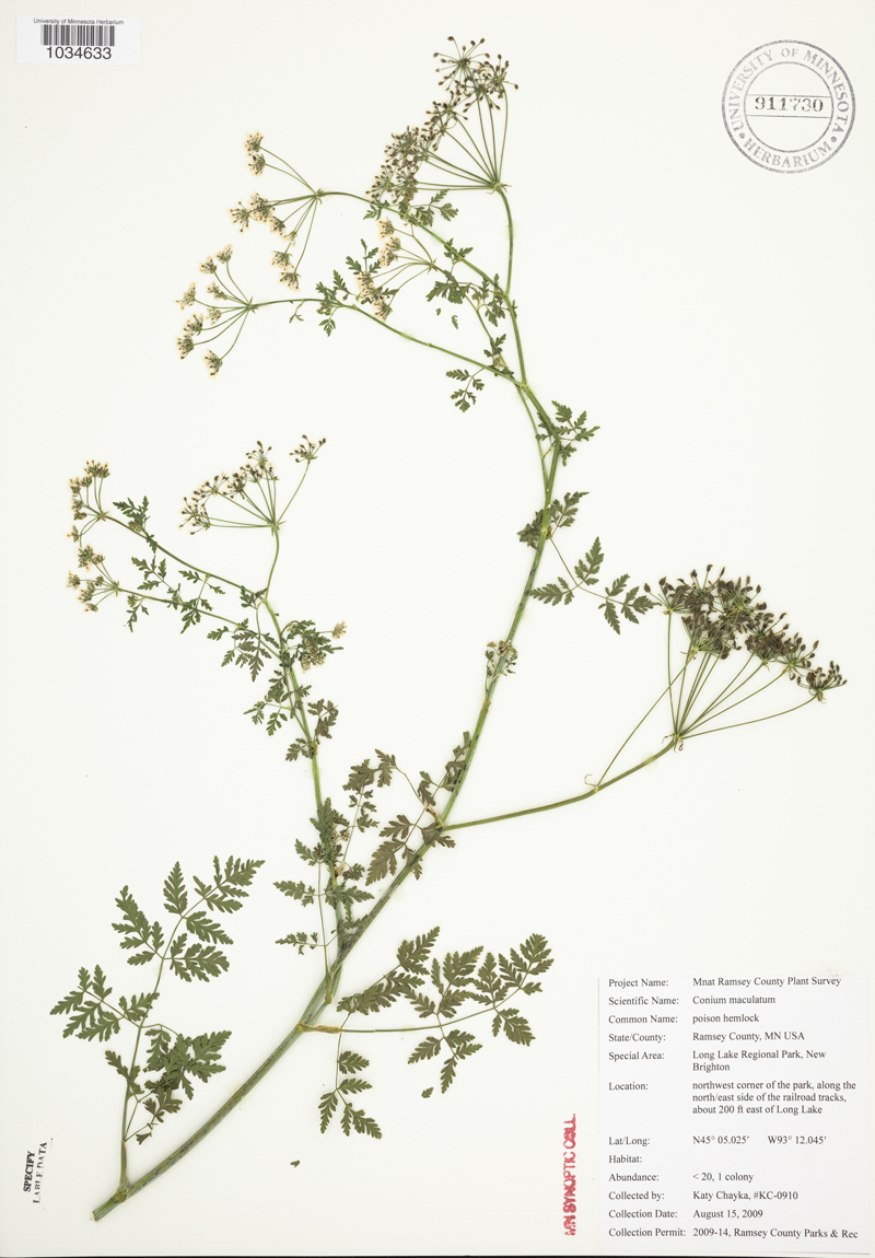An image from the Biodiversity Atlas of poison hemlock